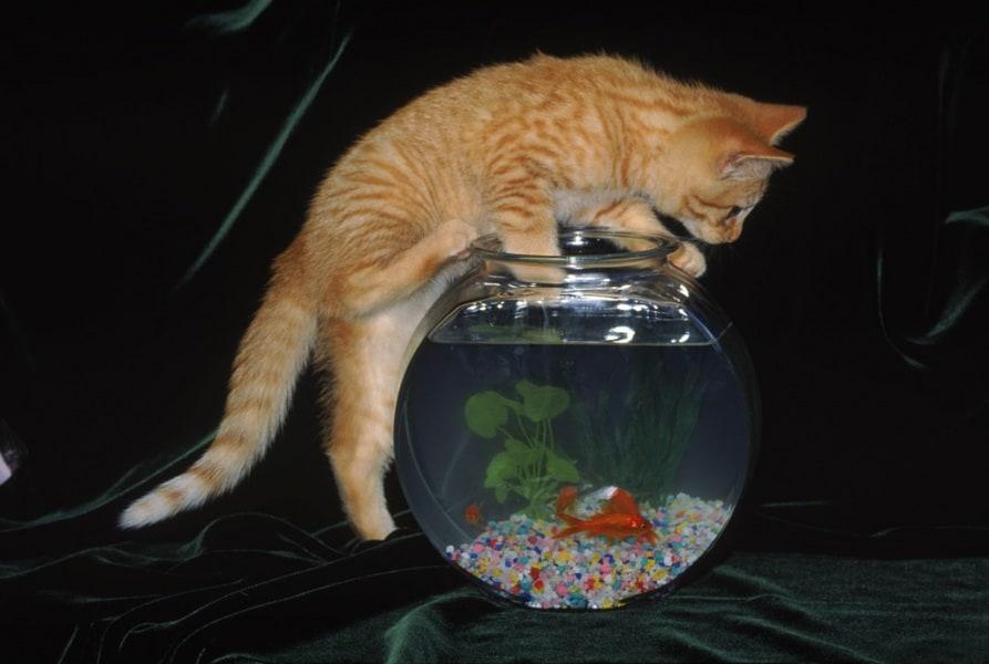 gatto-vuole-il-pesce