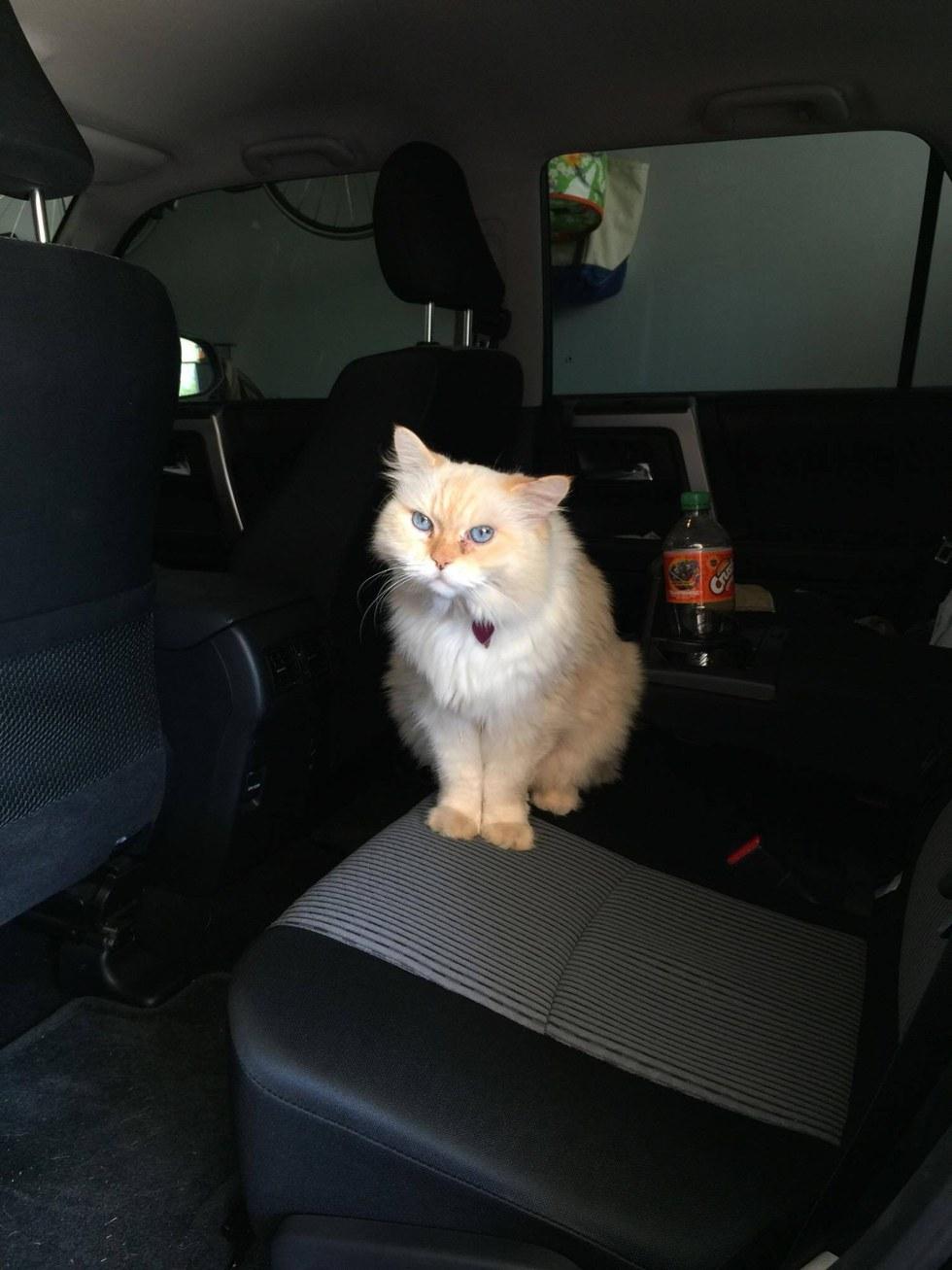 gatto nella macchina