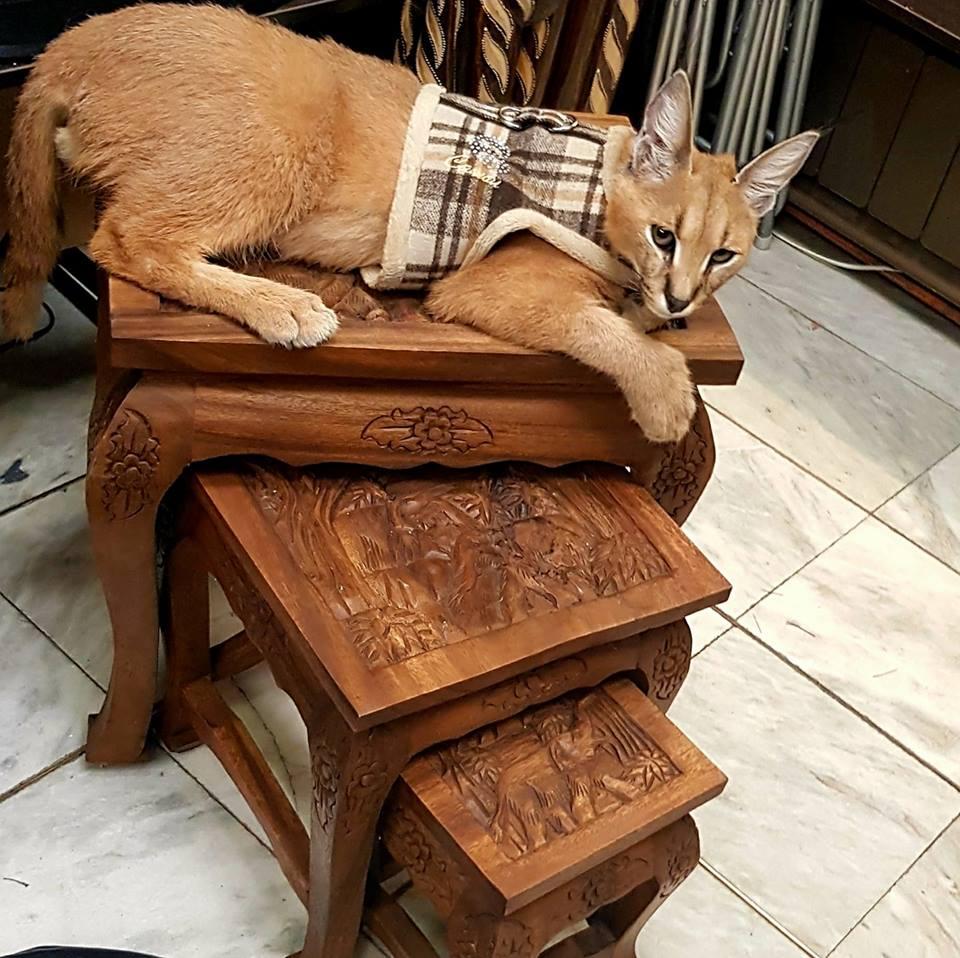 gatto-selvatico-in-casa