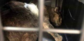 gatto ferito in gabbia