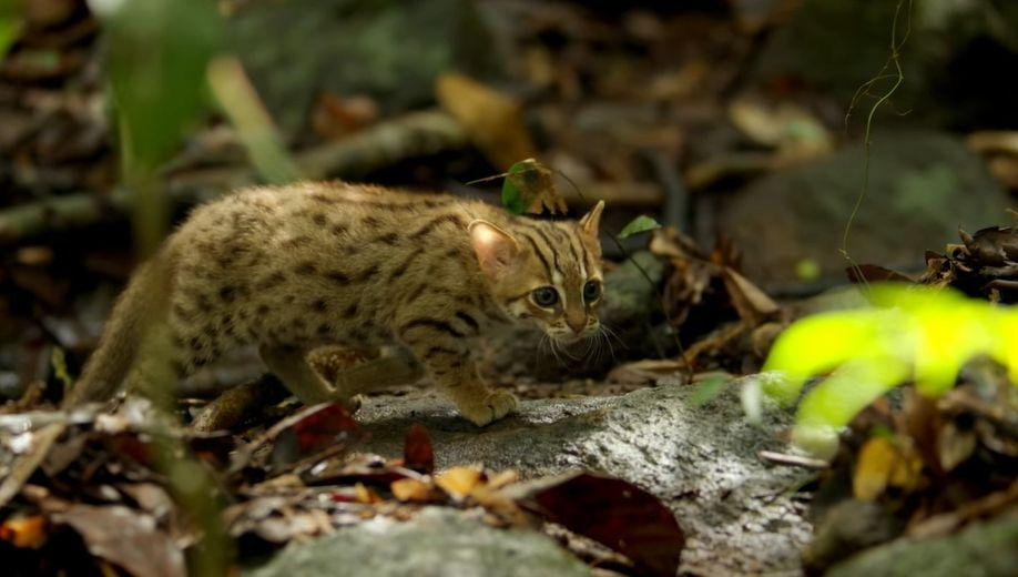 gatto-rugginoso-nel-suo-habitat