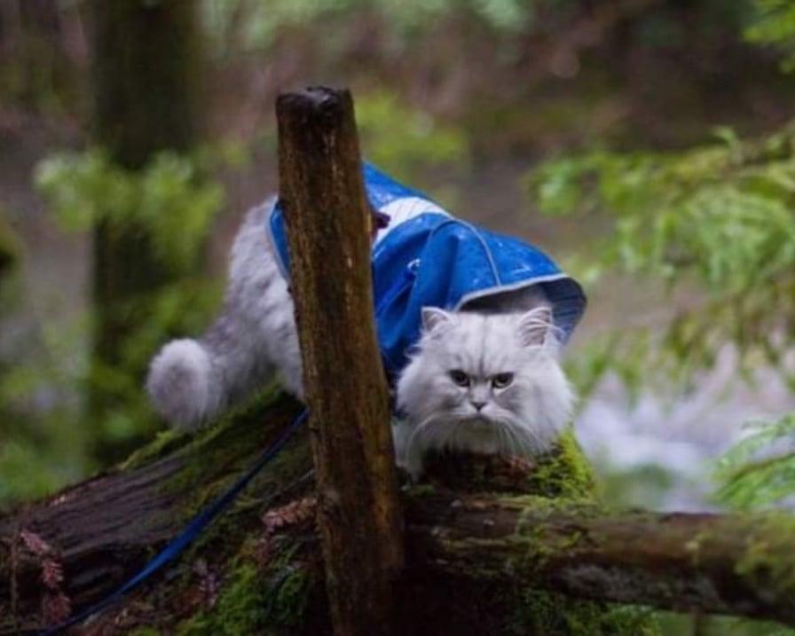 gatto-con-guinzaglio-blu