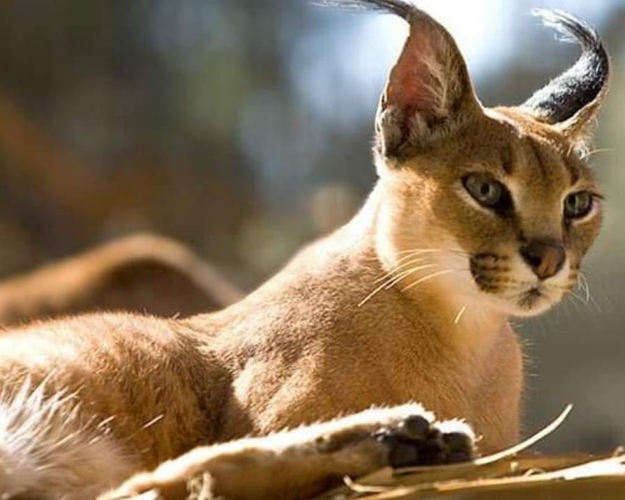 felino-gatto-selvatico