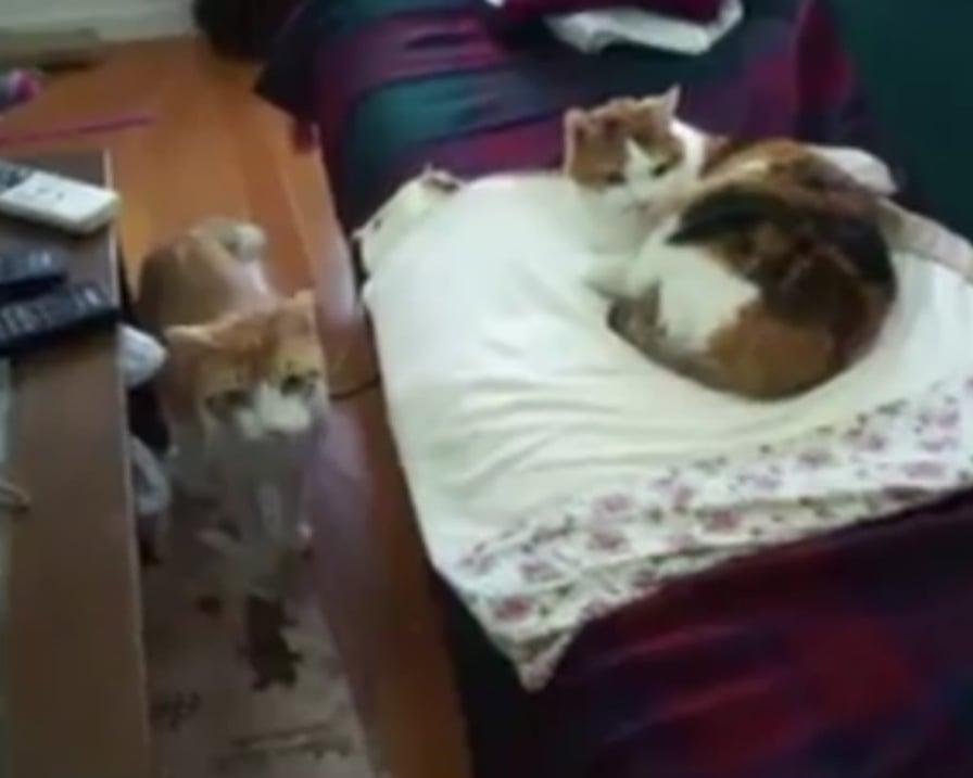 reazione-dei-gatti-arrivo-neonato
