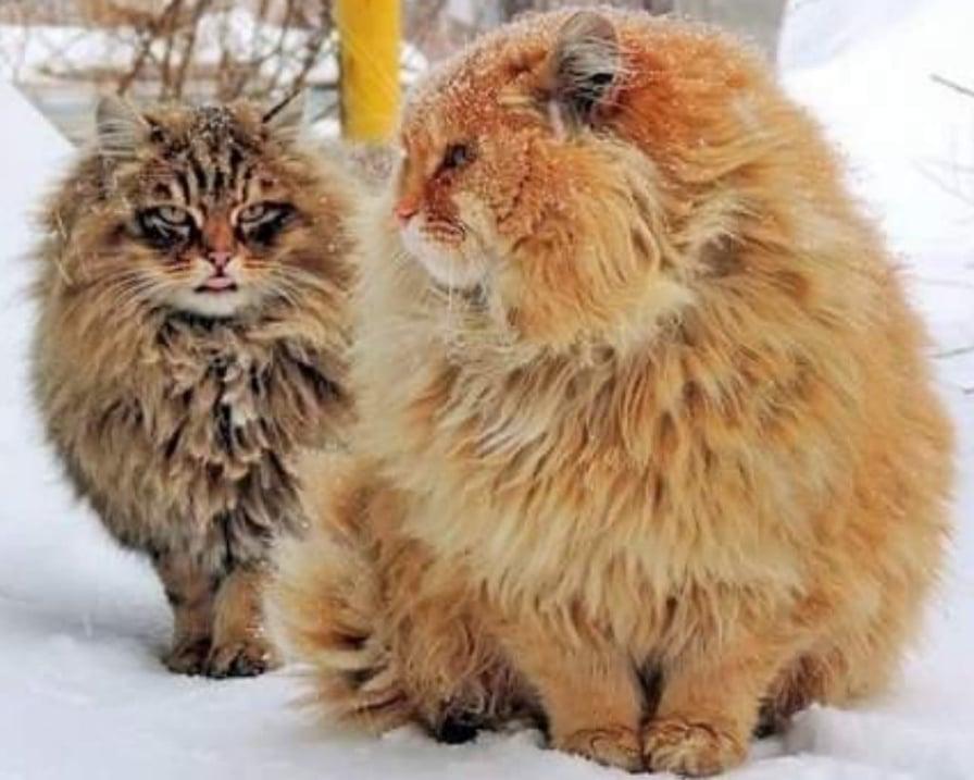 gatti-siberiani-sotto-la-neve