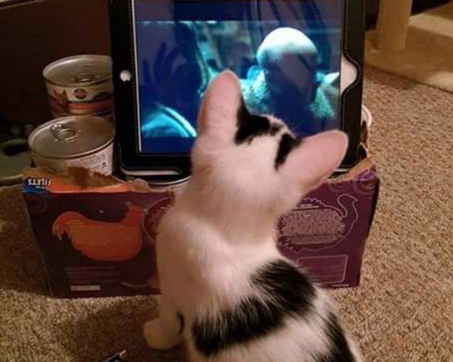 gatto-guarda-video