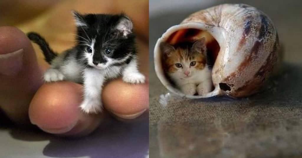 Preferenza Gatti più piccoli al mondo: eccoli, con foto | Il mio gatto è leggenda JA27