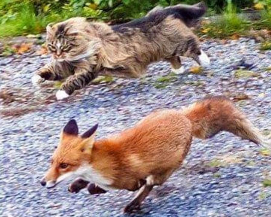 gatto-norvegese-con-volpe