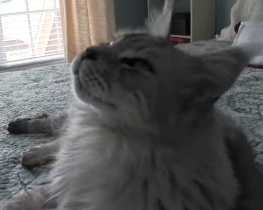 gatto-parla