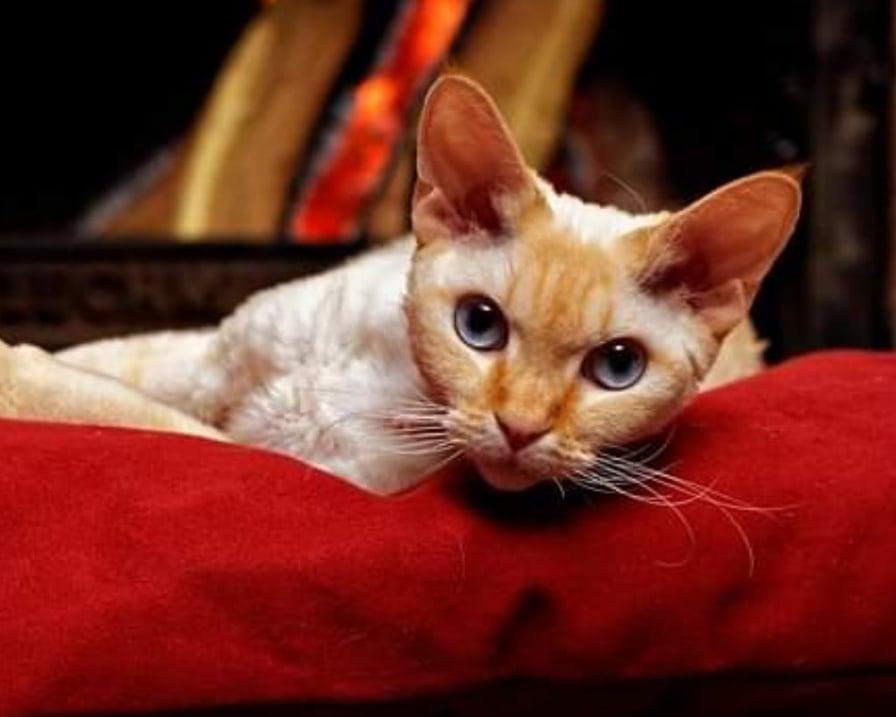 razza-di-piccolo-gatto