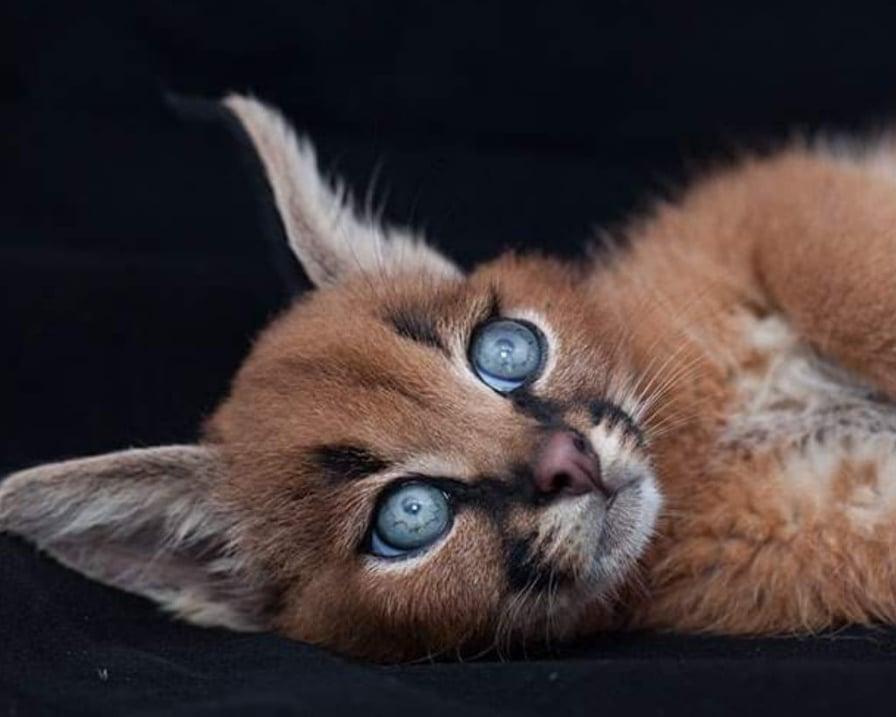 viso-del-gatto-selvatico