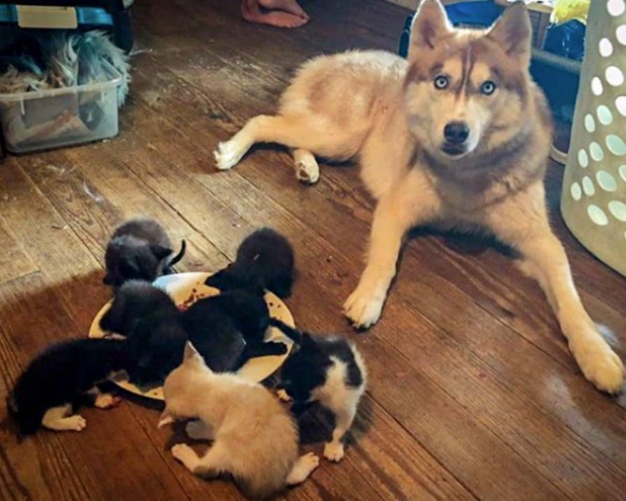 husky-guarda-gattini-mangiare