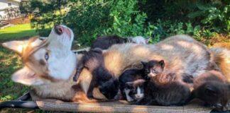 cuccioli-di-gatto-salvati-da-un-husky