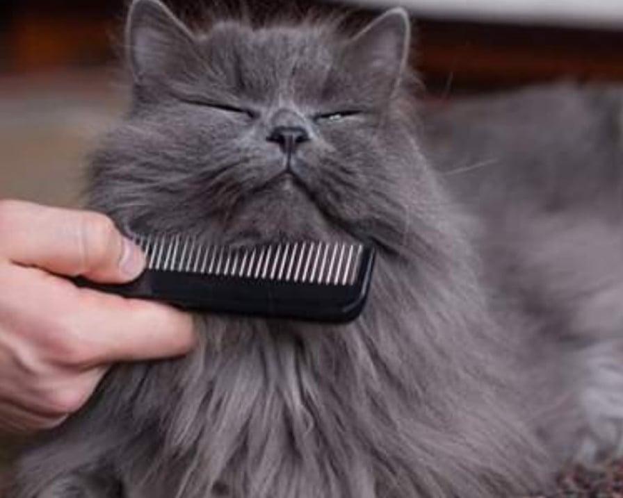 gatto-spazzolato