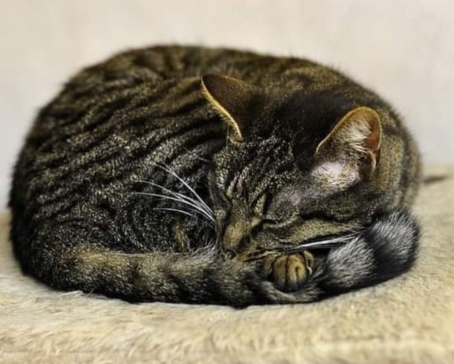 gatto-dorme-raggomitolato