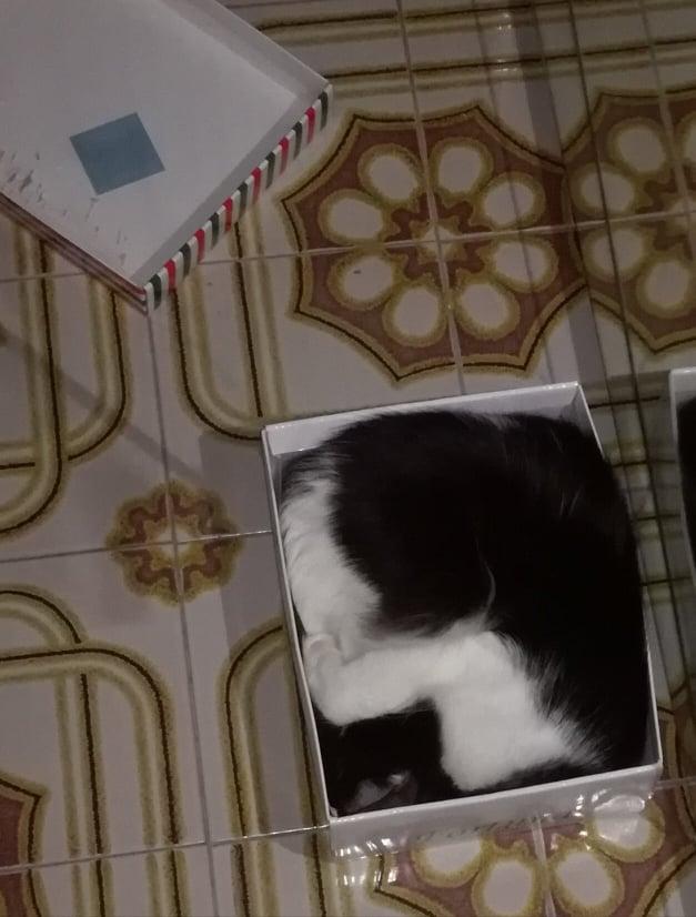 gatto-nella-scatola-di-scarpe