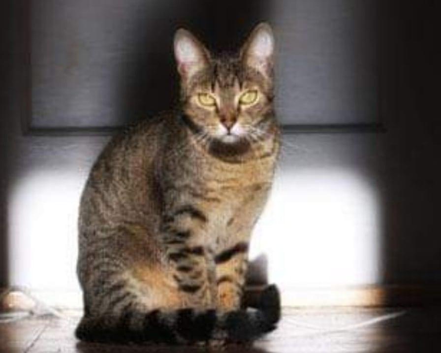 gatto-grigio-seduto
