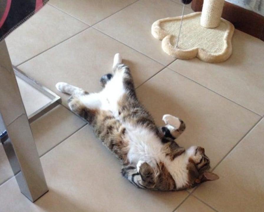 gatto si rotola sul pavimento