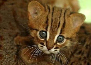 gattino-più-piccolo-del-mondo