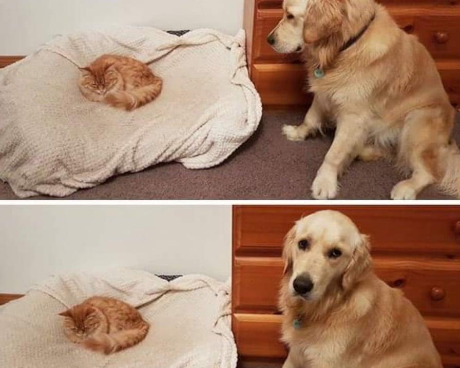 gatto-ruba-cuccia-al-cane