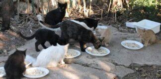 colonia di gatti si sfama