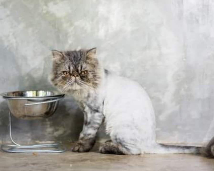 gatto beve