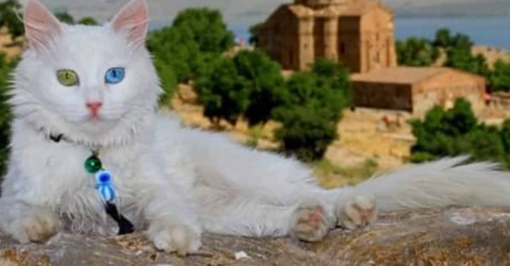 gatto di van sdraiato