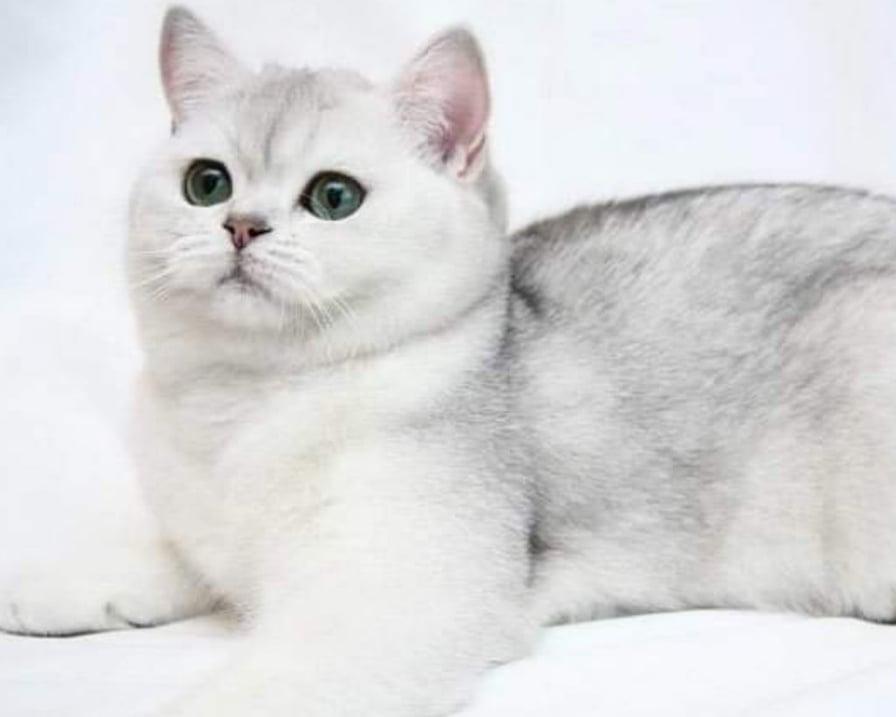 gatto mantello bianco grigio