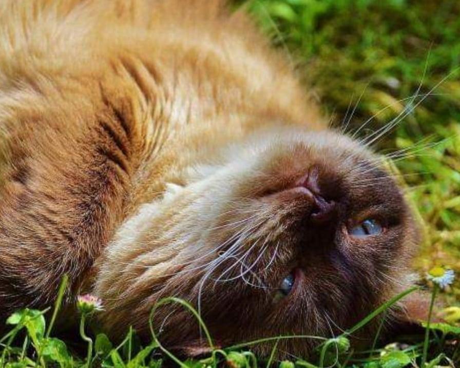gatto si rotola nell'erba