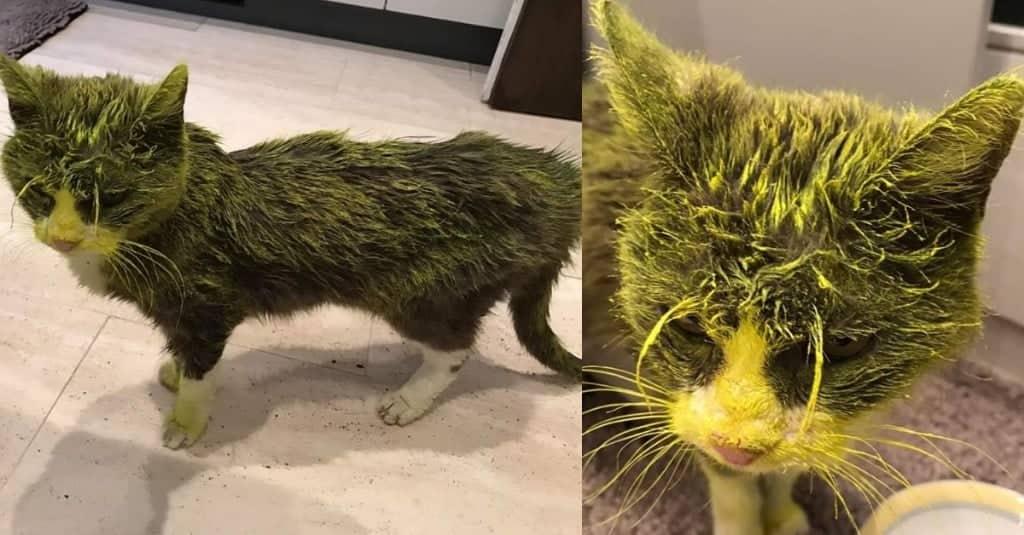 vernice su gatto