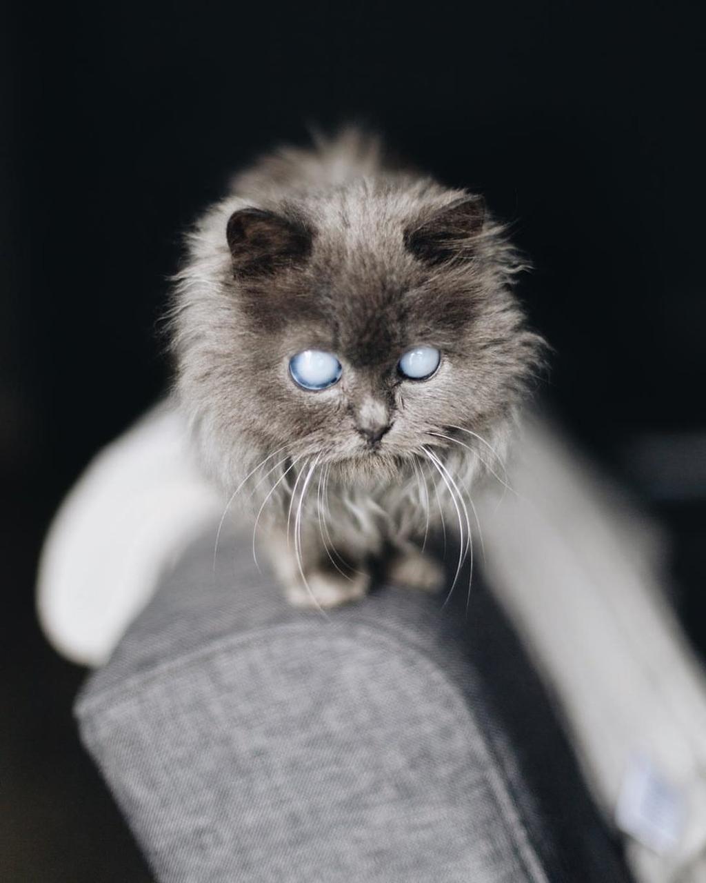 gattino con occhi bianchi