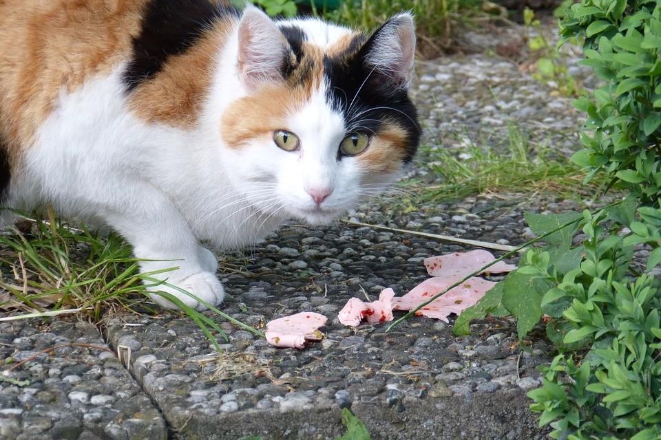Gatti-anziani-alimentazione