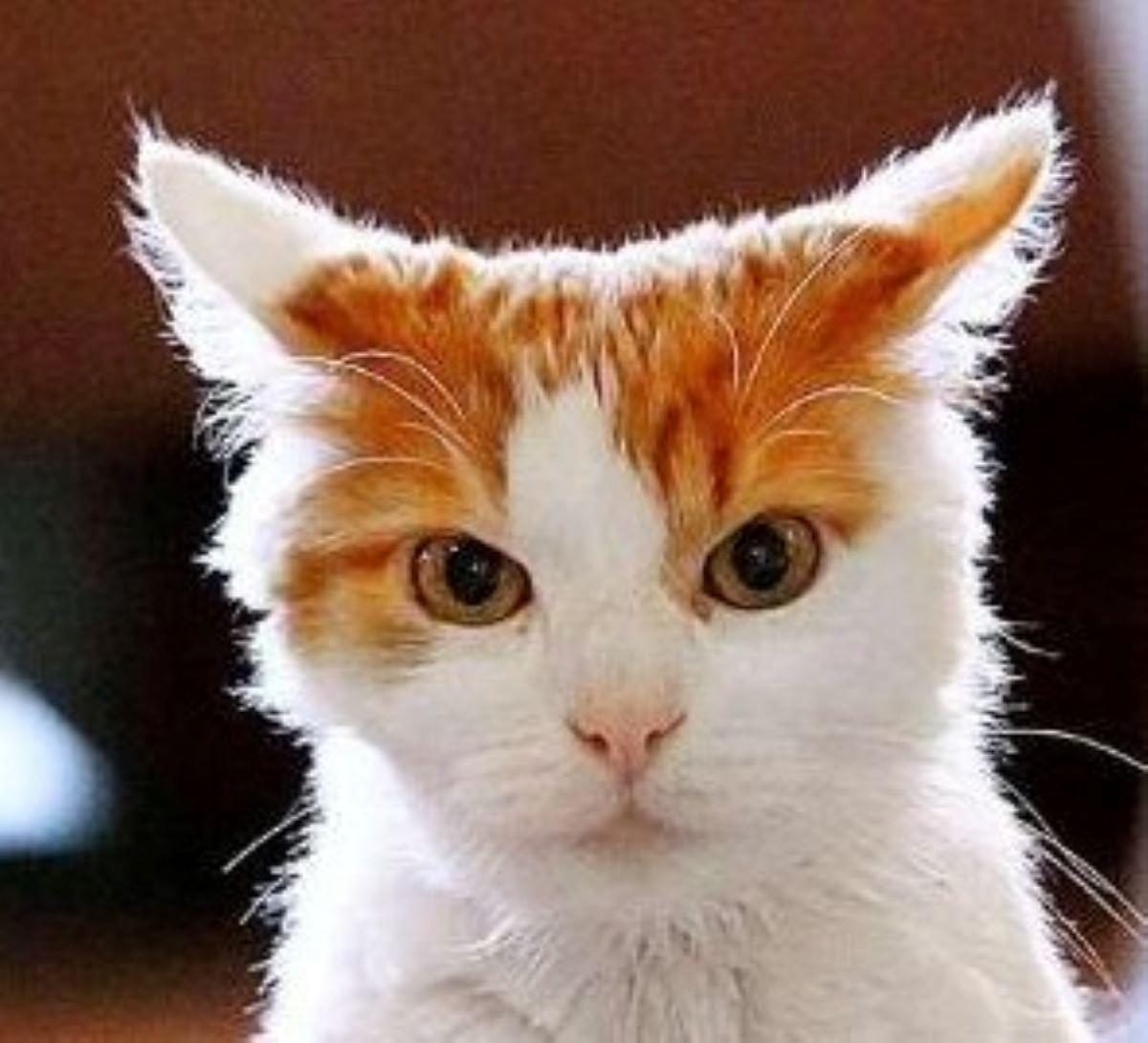 gatto-bianco-e-marrone-sguardo