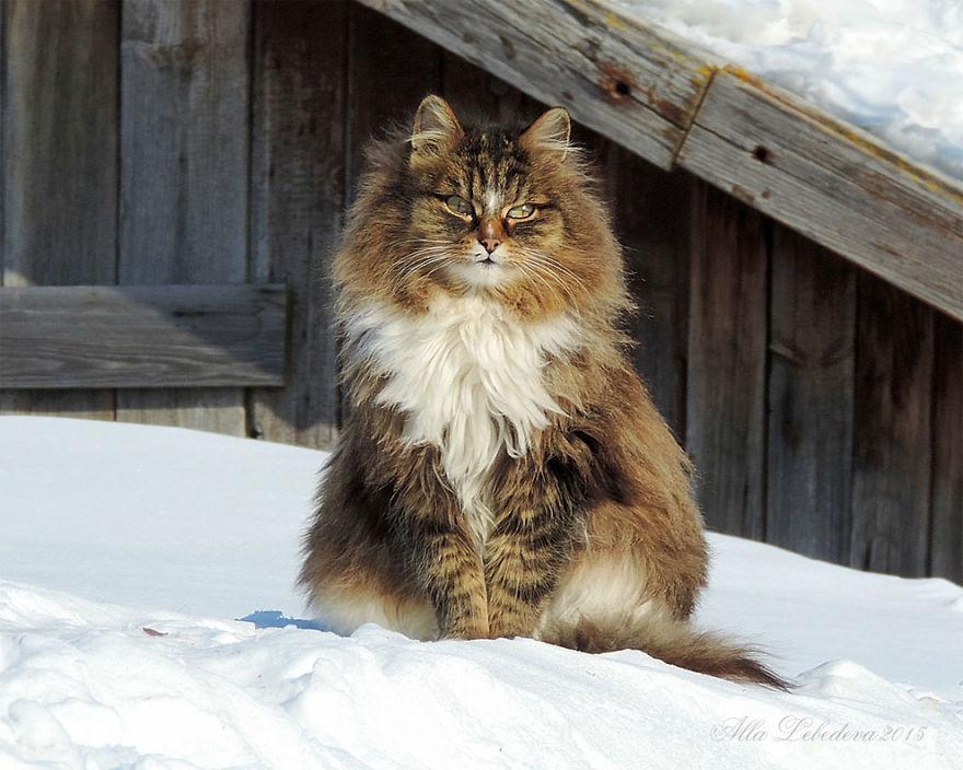 Bellissimo gatto siberiano