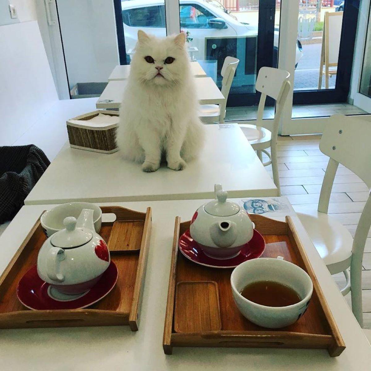 gatto-bianco-con-tazza-di-the