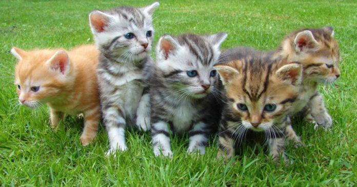 Cuccioli di gatto in un prato