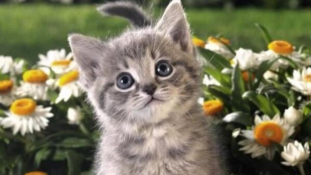 Cucciolo di gatto tra le margherite