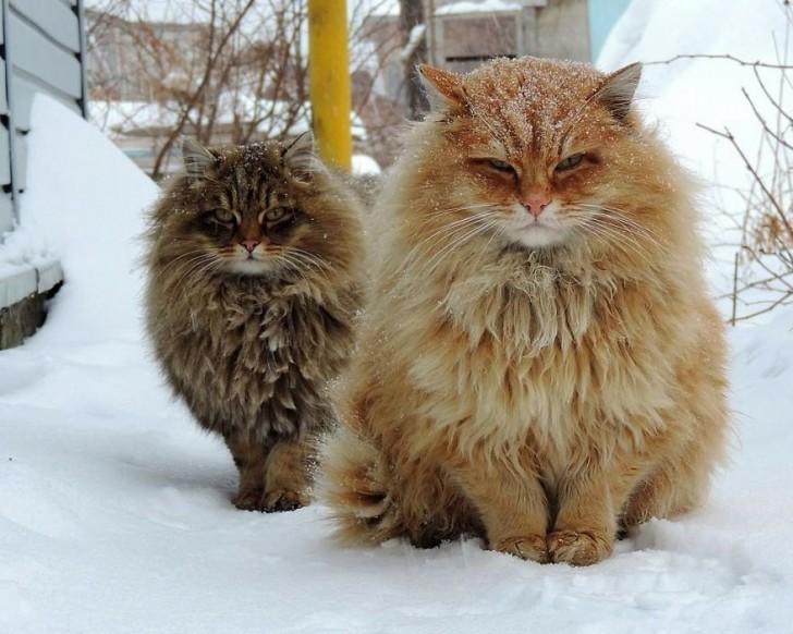 Due esemplari di gatti siberiani