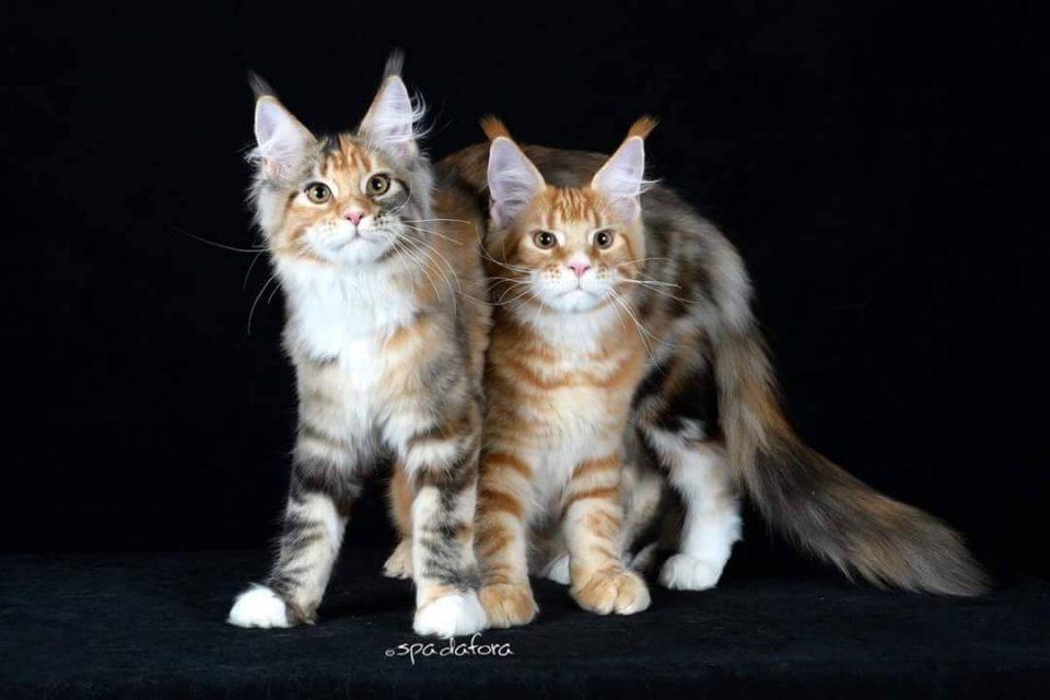 Due gatti Maine Coon