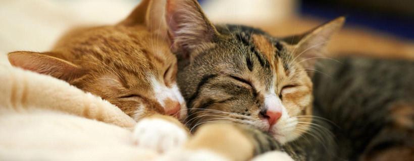 Due gatti che dormono vicino
