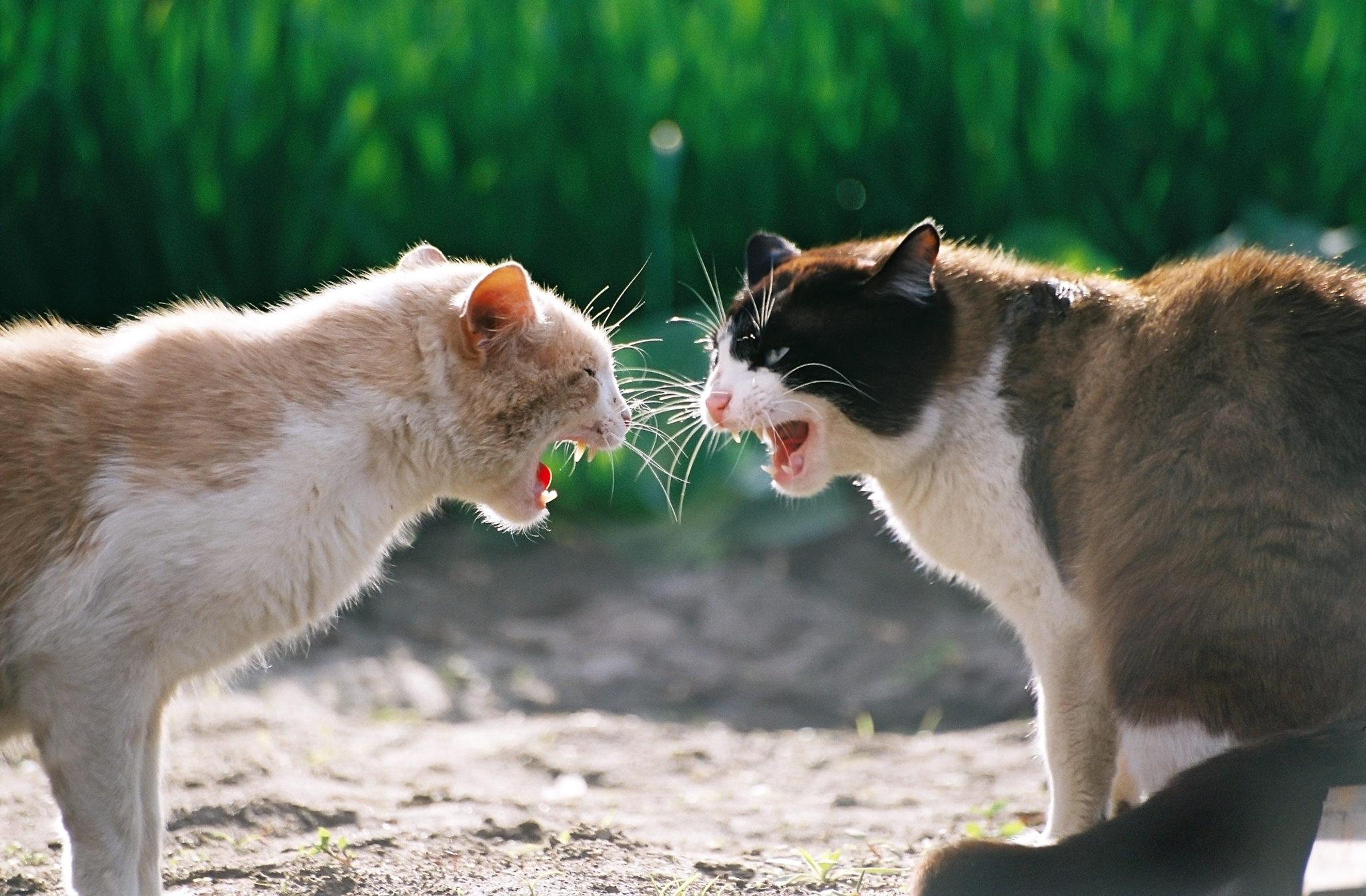Due gatti che litigano