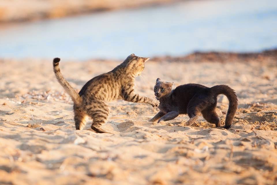 Gatti che giocano in spiaggia
