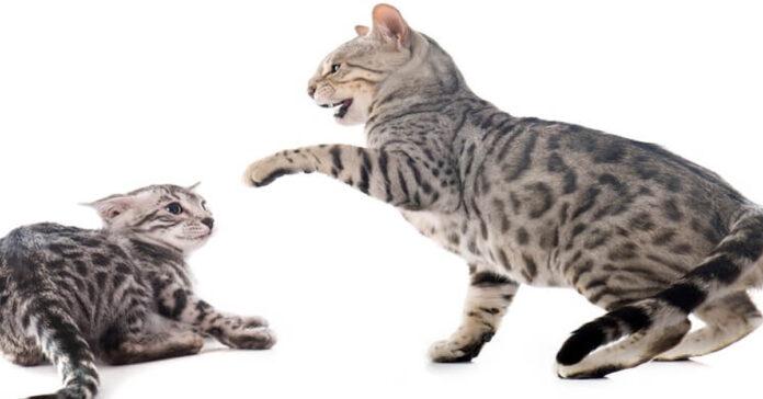 Gatti che si picchiano