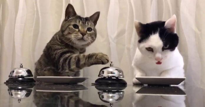 Gatti suonano campanello per mangiare il video divertente