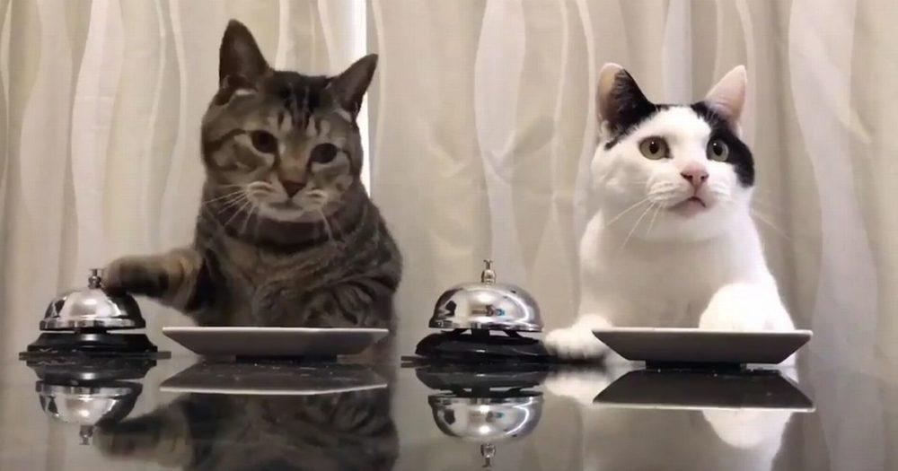 Gatti suonano un campanello per mangiare