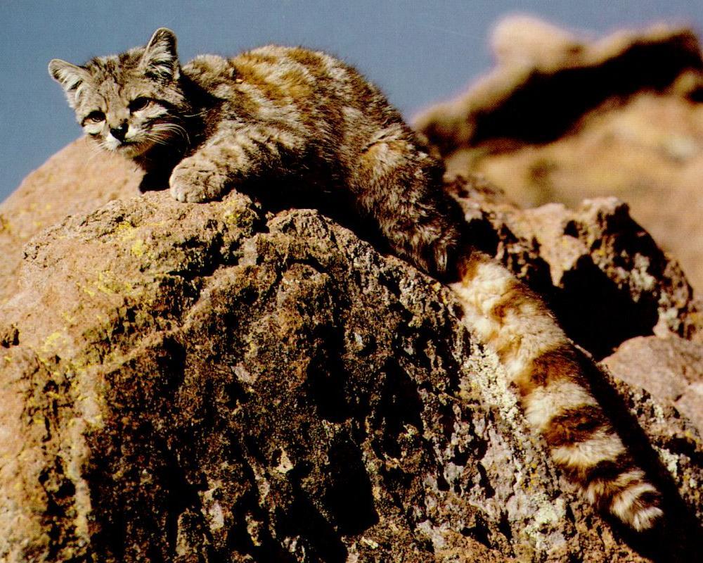 Gatto-su-montagna