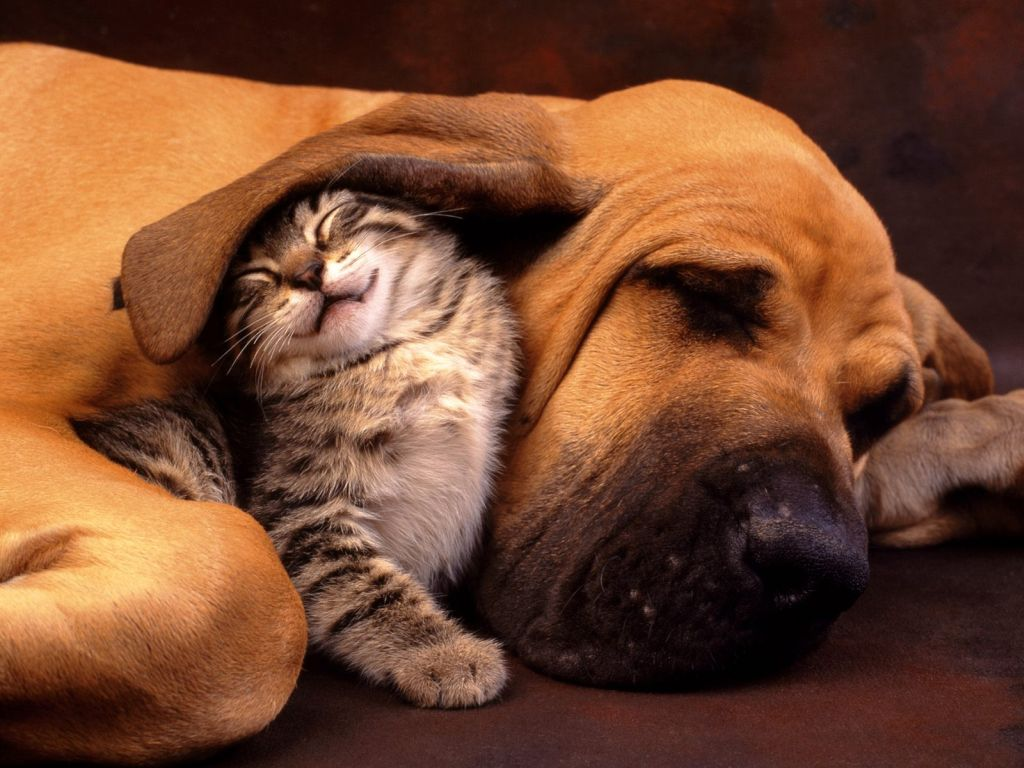 Gatto che dorme sotto l'orecchio di un cane