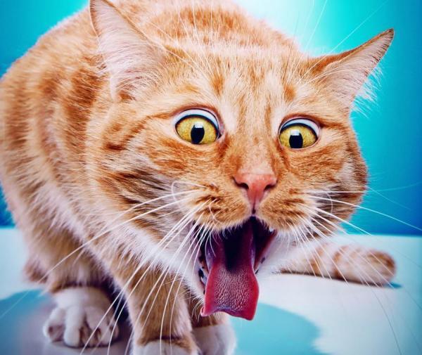 Gatto che fa la linguaccia