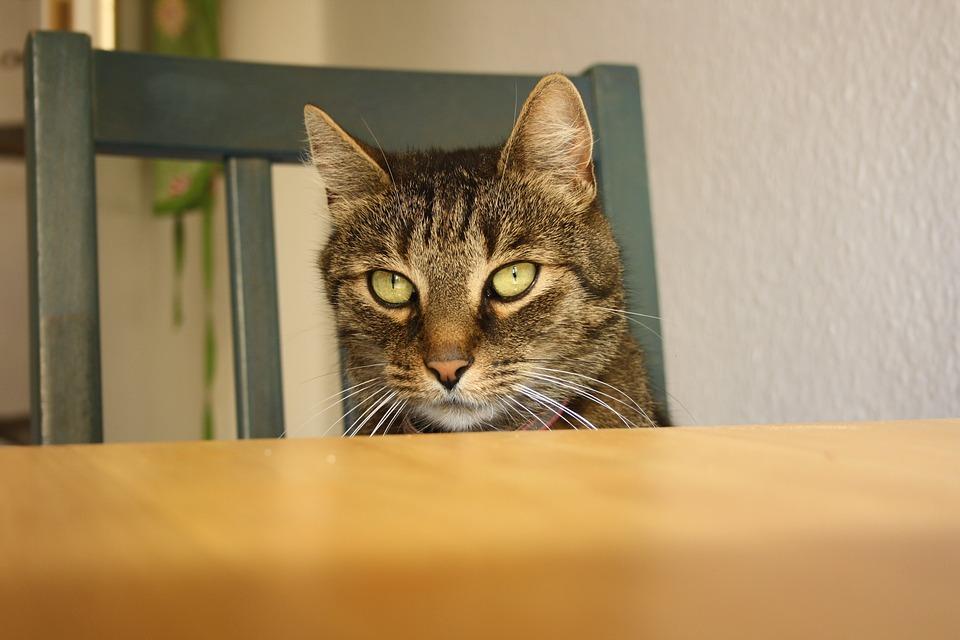 Gatto che guarda un tavolo