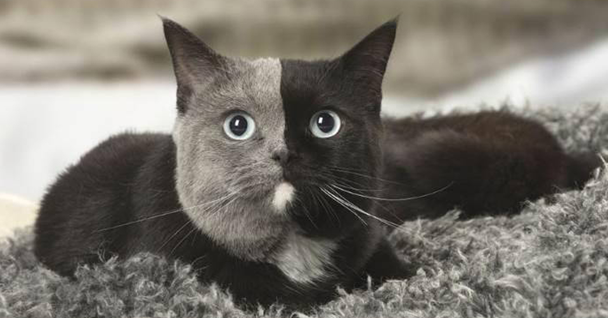 Gatto con due facce